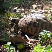 Черепаха | Зеленая странница :: Анна Бухарская