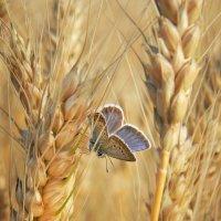 Колосок и бабочка... :: *MIRA* **