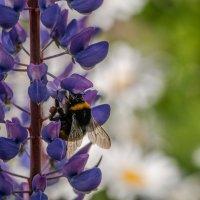 пчёлка Майя :: Александр Солуянов
