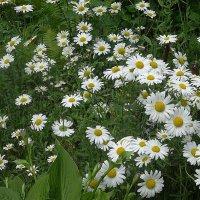 Белые ромашки - в каждой будто солнца луч :: Маргарита Батырева