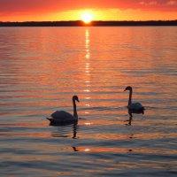 Лебеди на закате :: Сергей Рогачев