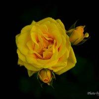 Roses :: Екатерррина Полунина
