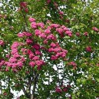 Цветущее дерево :: Вера Щукина
