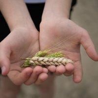 Пшеница :: Ольга Мартынюк