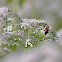 ...пчелка :: Георгий Никонов