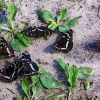 Бабочек подслушав разговор... :: Лесо-Вед (Баранов)