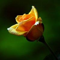 Персиковая роза :: Татьяна Евдокимова