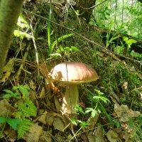 Белый гриб. :: Нина