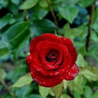 Розы после дождя Фото №3 :: Владимир Бровко