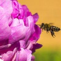 Пион и пчела :: Алексей Строганов