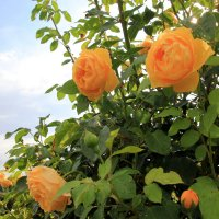 розовый куст :: Olga