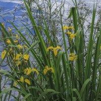 Ирисы на озере :: Сергей Цветков