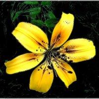 Золотая лилия :: Нина Корешкова