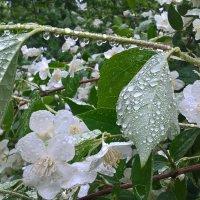 Жасмин дождь :: Митя Дмитрий Митя