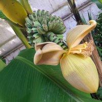 Цветок банана :: Tata Wolf