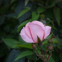 « Розовый цвет нежность хранит Цветом любви он всеми зовётся…» :: Андрей Нибылица