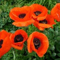 Красные маки, красные маки, ярко алея, цветут :: Елена Павлова (Смолова)