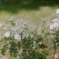 цветы :: Надежда Крылова
