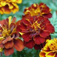 Цветы на клумбе :: Сергей