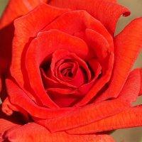 """Чайно-гибридная роза """"Baccara"""" :: Swetlana V"""