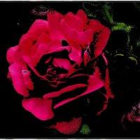 Роза красная-распрекрасная... :: Нина Корешкова