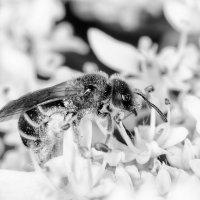 Сбор меда в черно-белых тонах :: Сергей Казаченко