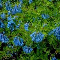 Хохлатка (CORYDALIS) голубая :: Елена Павлова (Смолова)
