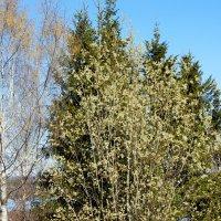 Весенние деревья. :: Светлана Громова