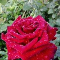 роза :: NikNik