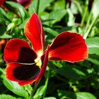 Городские цветы (анютины глазки) :: Милешкин Владимир Алексеевич