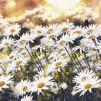 Цветок в белой рубашке с жёлтой душой..) :: Лилия .