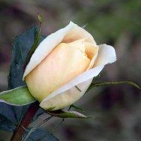 Розы-розы! :: Юрий