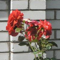 Розы :: Игорь Шубовичь