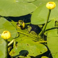 цветут кувшинки :: Лариса Батурова