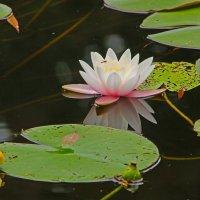 Роза на воде :: Alexander Andronik