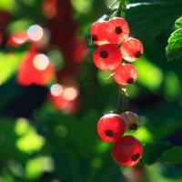 Урожай смородины :: Владимир Гришин