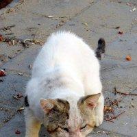 Боевой кот :: Герович Лилия