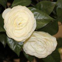 Комнатная роза :: Олег Афанасьевич Сергеев