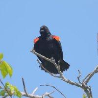 Redwinged Black Birds :: Naum