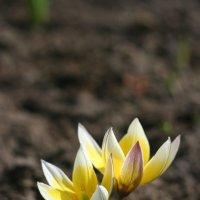 Цветы весны :: Александр Гладких