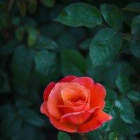 «…И роз, проснувшихся едва, Сжималось сердце молодое….» :: Андрей Нибылица