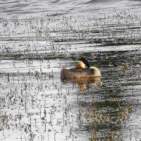 Чомга на озере в утренние часы :: Маргарита Батырева