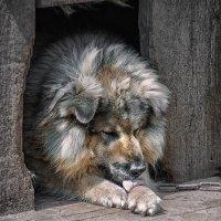 Лев в собачьей будке. :: Lidija Abeltinja