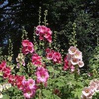 Розовые мальвы нежные, славные цветы, будто нарядили их на конкурс красоты :: Маргарита Батырева
