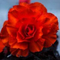 flower :: Владимир Ник