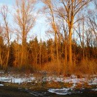 Лес в лучах закатного солнца. :: Elena Sartakova