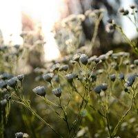 Полевые цветы :: Алиса Нелеп