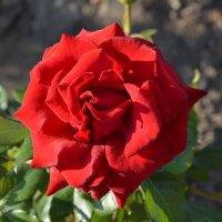 Роза.. :: Виктор ЖИГУЛИН.
