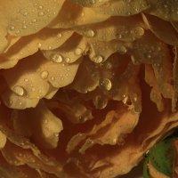 Мои розы :: Татьяна Панчешная