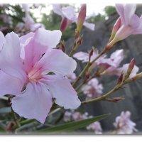 Розовая нежность.... :: СветЛана D